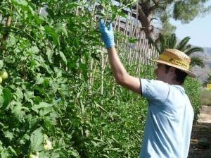 Programa de recuperación de cultivos tradicionales de tomate en la EPSO en AIRE LIBRE