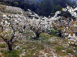 Es tiempo de cerezos en flor en el sureste español... en AIRE LIBRE