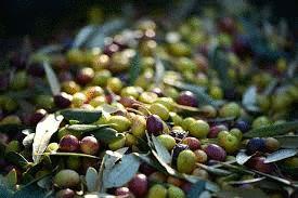 Es tiempo de 'olivas' de mesa en el sureste español… en GASTRONOMÍA